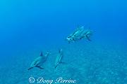 Hawaiian spinner dolphins or Gray's spinner dolphin, Stenella longirostris longirostris, off Kekaha Kai State Park, Mahaiula, North Kona, Hawaii ( the Big Island ), Central Pacific Ocean (cropped)