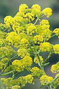 Wild Parsnip, Pastinaca sativa, Lesvos Island, Greece, yellow, green