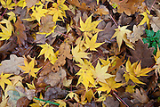 Autumn colour Maple leaves, Acer Palmatum Aureum, and oak leaves in the Fall in The Cotswolds