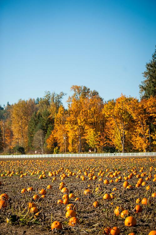 2017 OCTOBER 27 - Pumpkins in a patch near Carnation, WA, USA. By Richard Walker