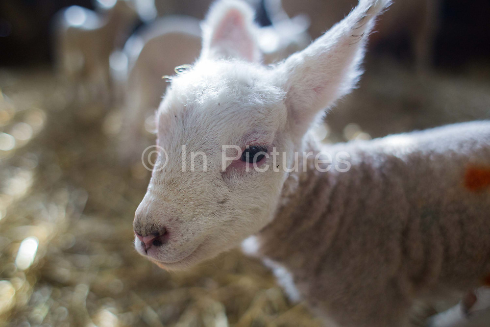 Spring is the lambing season in Scotland and Torsonce Mains Farm is busy lambing. A newly born lamb in the straw in the barn. The farm is owned by Stewart Ranciman and has 600 ewes all lambing from end of March till the end of April. Most will give birth to 2 lambs, occasionally 3 or even 4. The price of a 40 kg lamb is £60-70 and most are ready for sale 6-8 weeks later. Over 12 million lambs are slaughtered in the UK every year, producing more than 230,000 tonnes <br /> of meat.