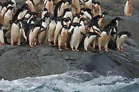 A group of Adelie Penguins (Pygoscelis adeliae) head for the ocean.