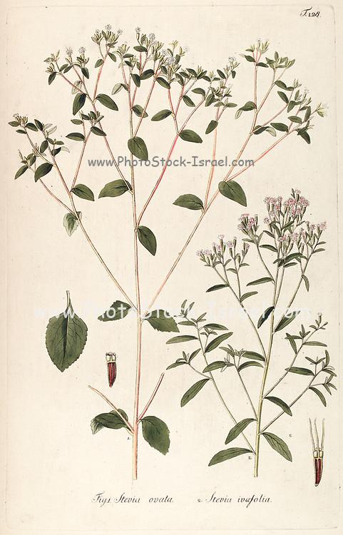 Hand painted botanical study of Stevia ovata and Stevia ivaefolia (Stevia serrata) commonly candyleaf flower anatomy from Fragmenta Botanica by Nikolaus Joseph Freiherr von Jacquin or Baron Nikolaus von Jacquin (printed in Vienna in 1809)