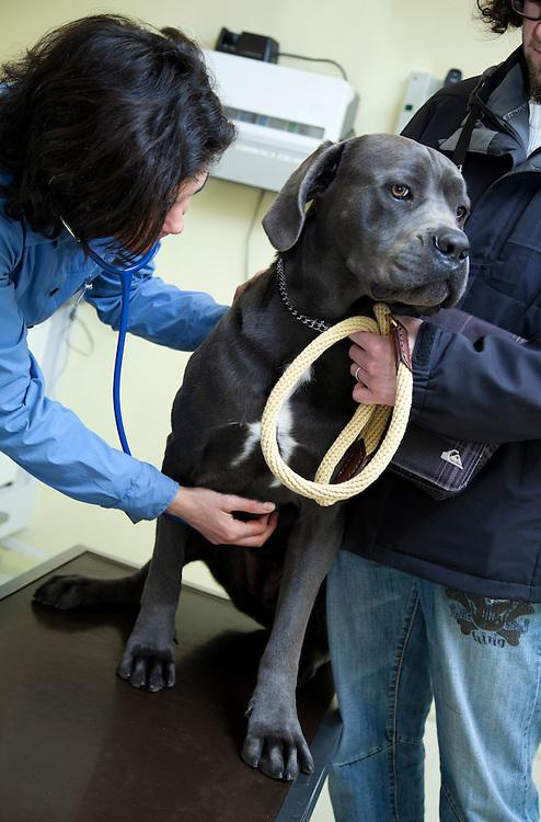Examination dog(Cannis Familaris) Cane Corso by veterinarian. France