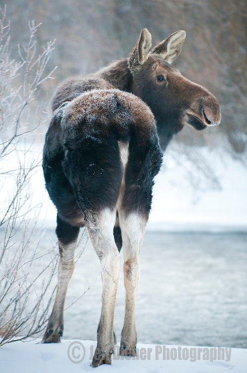 A moose stands on the snowy banks of a creek in Jackson Hole, Wyoming.