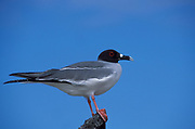Swallow Tailed Gull, Creagrus furcatus, Tower Island, Galapagos, perched against blue sky background