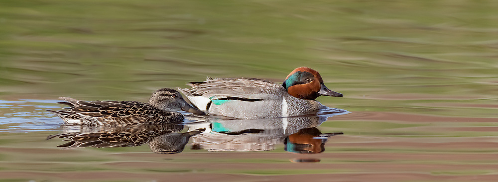 Green-winged teal pair gliding across pool in stream, Yellowstone National Park, © David A. Ponton