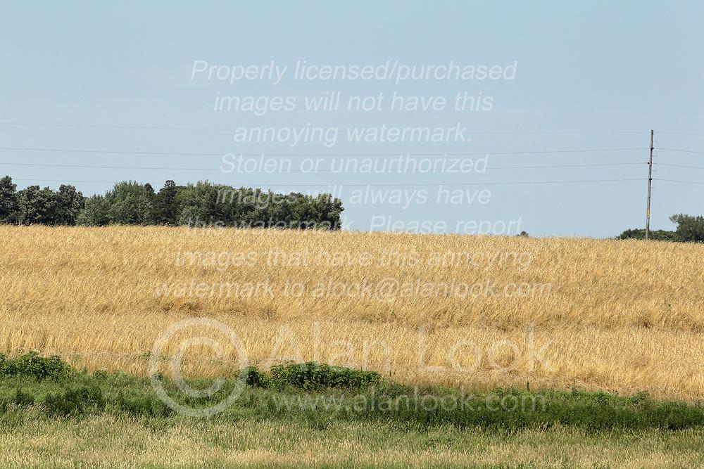 Field of hay, straw or wheat growing in rural Minnesota near I90