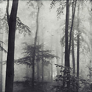 Silhouettes of beech trees in the mist -photograph in black and white edited with texture overlays