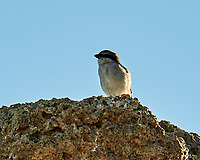 Loggerhead Shrike (Lanius ludovicianus). Mono Lake, California. Image taken with a Nikon D700 camera and 80-400 mm VR lens.