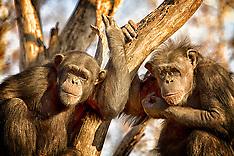Chimp & Gorilla