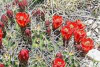 """One of the most striking and beautiful of all the """"barrel"""" cacti of the American Southwestern deserts, the claret cup cactus (also known regionally by many names such as the kingcup, queencup, hedgehog cactus, pitaya roja, etc.) has large, showy and brilliantly red flowers that attract and are pollinated by hummingbirds. Unlike most cacti, the flowers of the claret cup stay open at night. Some native American tribes who shared the same habitat would collect these cacti, burn off the sharp spines, and mash them into a pulp with some locally procured sweetener (honey?) and bake them into mini sweet cakes. This one was found and photographed on a beautiful spring day in the Guadalupe Mountains National Park in Northwestern Texas."""