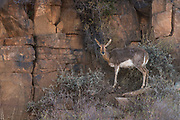 Mountain Reedbuck (Redunca fulvorufula)<br /> Private game ranch<br /> Great Karoo<br /> SOUTH AFRICA