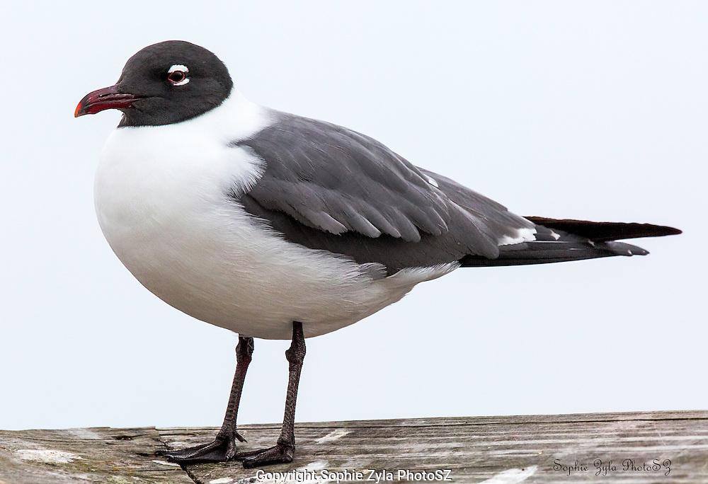 Laughing Gull Pose