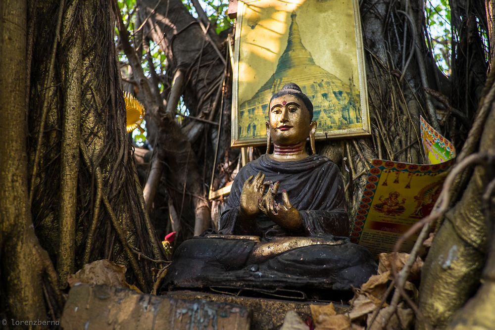 Yangon, Myanmar. A Buddha statue nestled in the trunk of a banyan tree. Myanmar is the Buddhist country who have the higher proportion of monks in the population and that spent the higher part of income on religion.<br /> Photo by Lorenz Berna