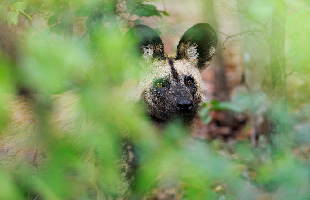 Painted dog, Lycaon pictus, captive, Painted dog centre, Zimbabwe