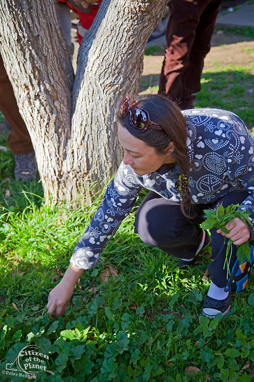 Foraging for wild edibles in Los Angeles neighborhood Echo Park. Nance Klehm leads her Urbanforage guided walk showing and educating attendees about various greens, herbs and other edibles readily found along streets, lots and front yards. Los Angeles, California, USA