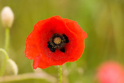 Poppy in a meadow, Gloucestershire, United Kingdom