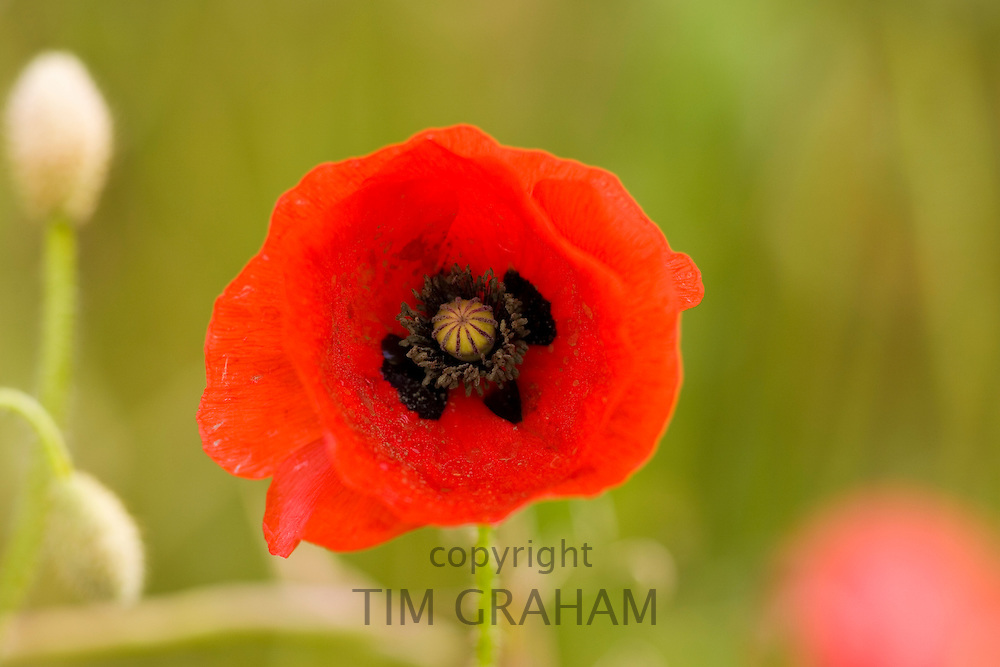 Poppy in a meadow, Gloucestershire, United Kingdom