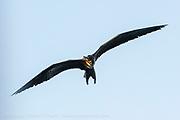 A Great Frigatebird or Pirate Bird, Fregata minor, soars with its massive wings over the Galapagos Islands, Ecuador.