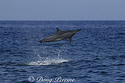 Hawaiian spinner dolphin or Gray's spinner dolphin, Stenella longirostris longirostris, jumping and spinning, Kona, Hawaii ( the Big Island ), USA ( Central Pacific Ocean )
