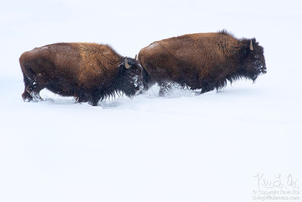 Two bison (Bison bison) trudge through deep snow near Fountain Flat in Yellowstone National Park, Wyoming. Bison are well equipped for harsh winter conditions. They grow a winter coat of woolly underfur, which has coarse hairs that protect them from the elements. The humps on their backs also contain muscles supported by long vertebrae that help swing their heads to move vast amounts of snow.
