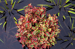 Houttuynia cordata 'Chameleon' syn. 'Tricolor' in the Sunk garden pond at Great Dixter