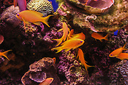 Underwater photograph of Pseudanthias squamipinnis (Sea goldies, lyretail coralfish, lyretail anthias, scalefin anthia, goldfish) at a Coral reef in the Red Sea Eilat, Israel
