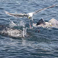 """Gulls pick off tiny fish from the surfaced """"bait ball"""" in the waters of the Kenai Fjords National Park, Alaska"""