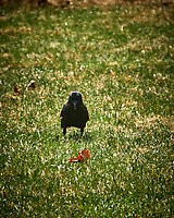Crow. Image taken with a Fuji X-T2 camera and 100-400 mm telephoto lens (ISO 200, 400 mm, f/5.6, 1/500 sec)
