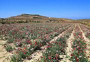 Crop of carnation flowers view to hilltop Ta 'Gurdan, Gordan or Gordon lighthouse, Gozo, Malta