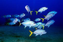 shool of horse-eye jacks, .Caranx latus, .Etheridge wreck, Freeport, .Grand Bahama, Bahamas (Atlantic).