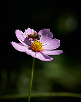 Bee on a pink Cosmos flower. Autumn Backyard Nature in New Jersey. Image taken with a Fuji X-T2 camera and 100-400 mm OIS telephoto zoom lens.