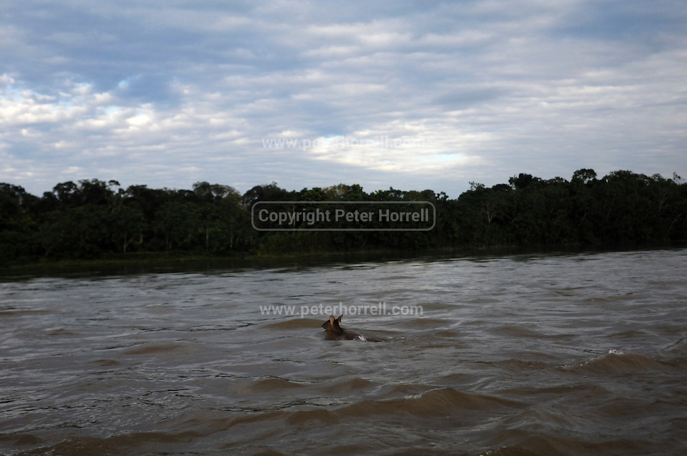 Ecuador, May 16 2010: A deer swims across the Aguarico river early in the morning. Images from Cofan Lodge...Copyright 2010 Peter Horrell