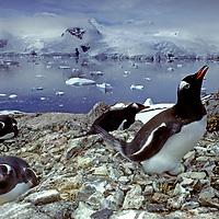 Gentoo Penguins nest beside Cierva Cove, on the Antarctic Peninsula near Argentina's Primavera Base.