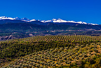 Olive groves on a slope with the snow capped Sierra Nevada Mountains in the background, near Diezma, Granada Province, Andalusia, Spain.