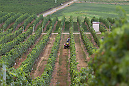 Photo Randy Vanderveen.Oliver, BC.Steve Carberry of Black Hills Estate Winery prunes the top tendrils of grape vines away from the irrigation heads among the rows of grapes.