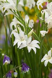 Gladiolus 'The Bride'