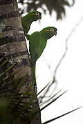 Cerro Tapichalaca Reserve - Monday, Jan 07 2008: A pair of Golden-plumed Parakeets (Leptosittaca branickii) perch on a tree in the Cerro Tapichalaca Reserve near Podocarpus National Park. (Photo by Peter Horrell / http://www.peterhorrell.com)