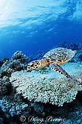 hawksbill turtle, Eretmochelys imbricata, on coral reef, Layang Layang Atoll, Malaysia ( South China Sea )