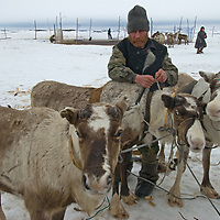North of the Arctic Circle in Russia, a nomadic Komi reindeer herder harnesses domesticated animals to his sled in order to move camp from one grazing area to the next. Behind him is a portable pen used to capture the animals.