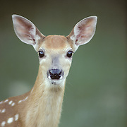 Whitetail Deer (Odocoileus virginianus) portrait of a fawn. Wisconsin