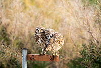 A pair of Burrowing Owls, Athene cunicularia, perch on a nest site marker in Zanjero Park, Gilbert, Arizona
