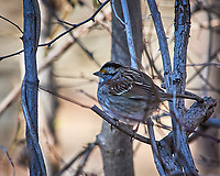 White-throated Sparrow. Image taken with a Nikon D3x camera and 80-400 mm VR lens (ISO 400, 400 mm, f/8, 1/400 sec).
