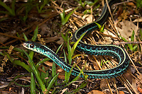Blue-striped garter snake discovered on a trail in the Goethe State Forest in Levy County, Florida. It has the most beautiful turquoise sides and belly!