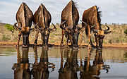 Blue wildebeest (Connochaetes taurinus) drinking from a shallow water hole in Zimanga Private Reserve, South Africa.