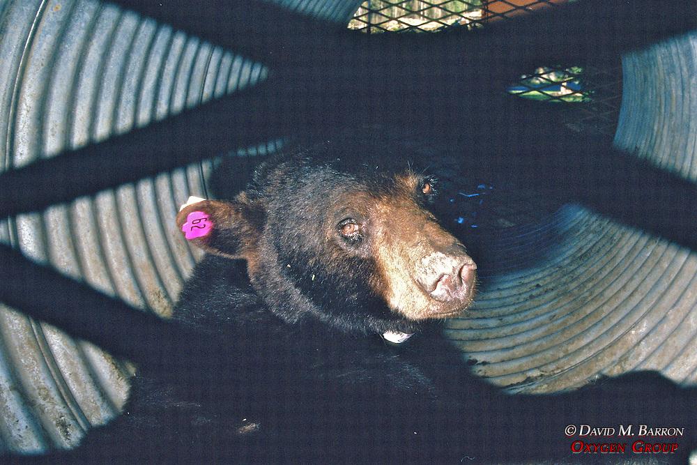 Black Bear In Bear Trap