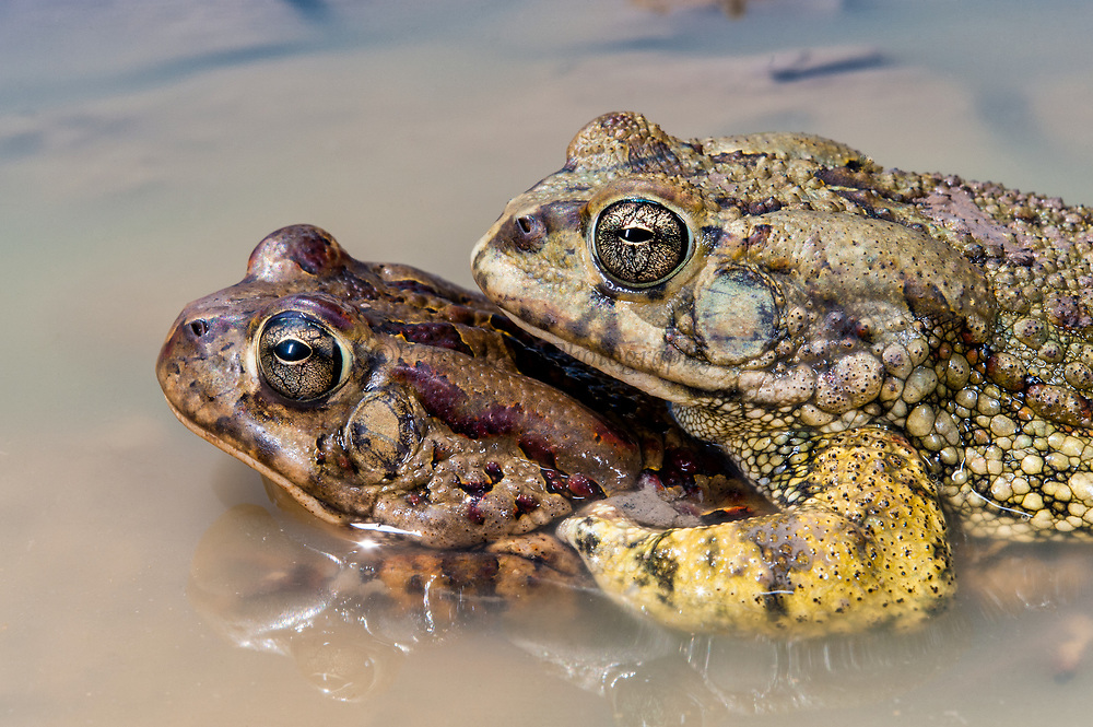 Western olive toad (Bufo poweri) in amplexis<br /> Marakele Private Reserve, Waterberg Biosphere Reserve<br /> Limpopo Province<br /> SOUTH AFRICA<br /> HABITAT & RANGE: Vleis, pans & dams in open savannah of nw South African and s Botswana