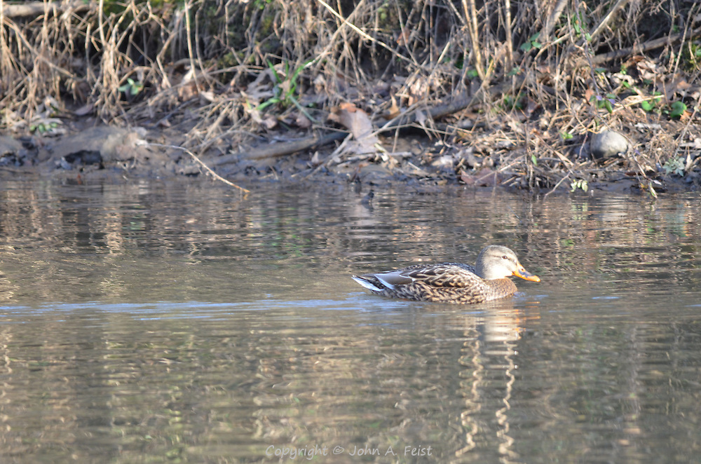 A lone duck headed downstream on the D and R Canal in Hillsborough, NJ.  What an interesting pattern on her beak.