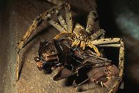 A huntsman spider catches and devours a praying mantis..Gunung Palung National Park, Borneo Island.